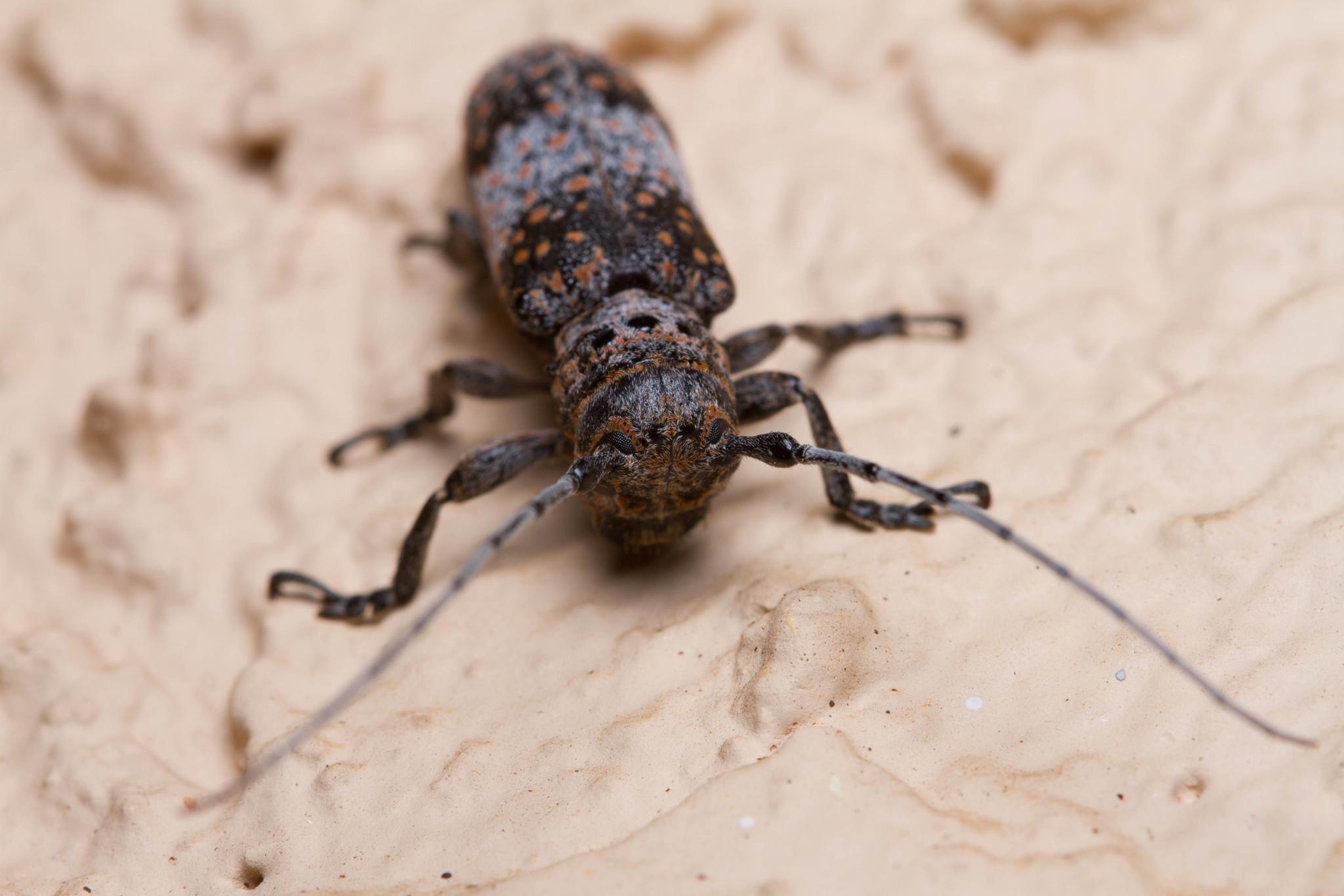 Image of Mesquite Girdler