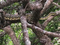 Image of Diamond python