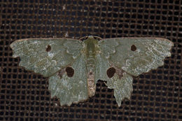 Image of <i>Chlorodontopera discospilata</i> Moore 1867