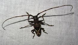 Image of <i>Paraleprodera stephanus fasciata</i> Breuning 1943