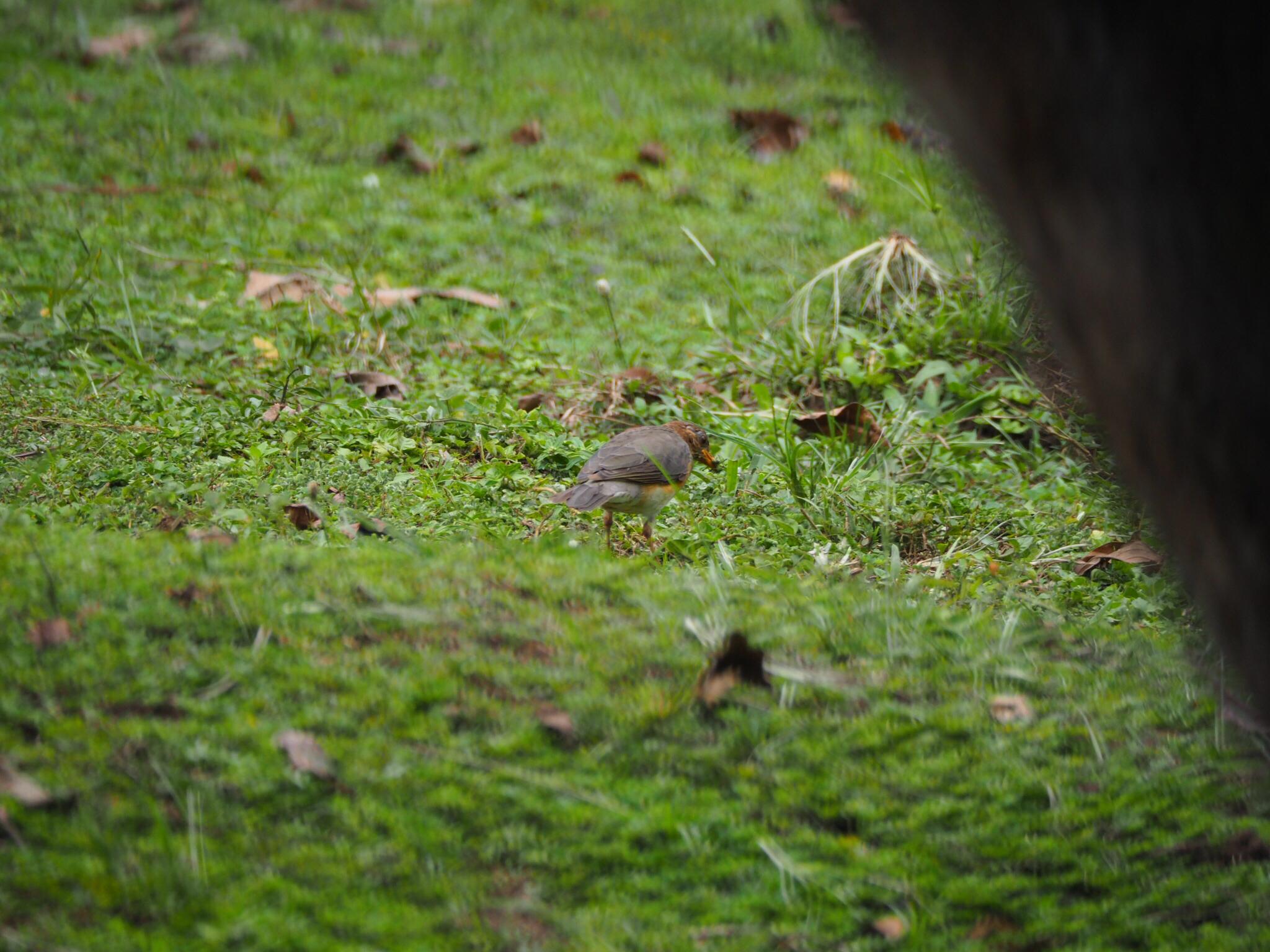 Image of African Thrush