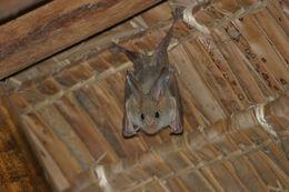 Image of African False Vampire Bat