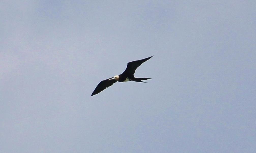 Image of Andrews' Frigatebird