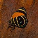 Image of <i>Callicore lyca</i>