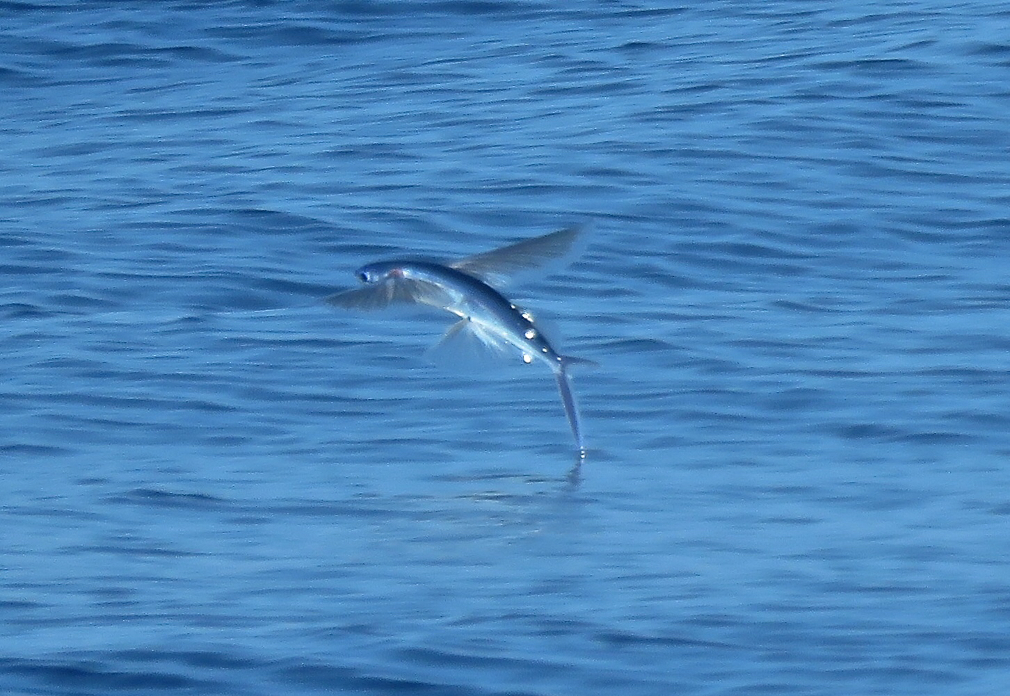 Image of Bennett's Flyingfish