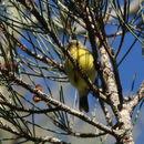 Image of Yellow Thornbill