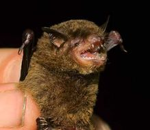 Image of riparian myotis
