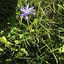 Image of <i>Cichorium intybus</i>