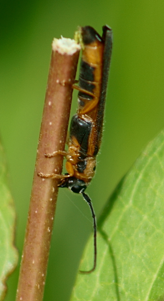Image of sumac stem borer