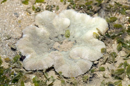 Image of Haddon's Carpet Anemone