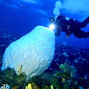Image of Giant volcano sponge