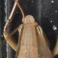 Image of Round-tipped Conehead
