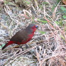 Image of African Firefinch