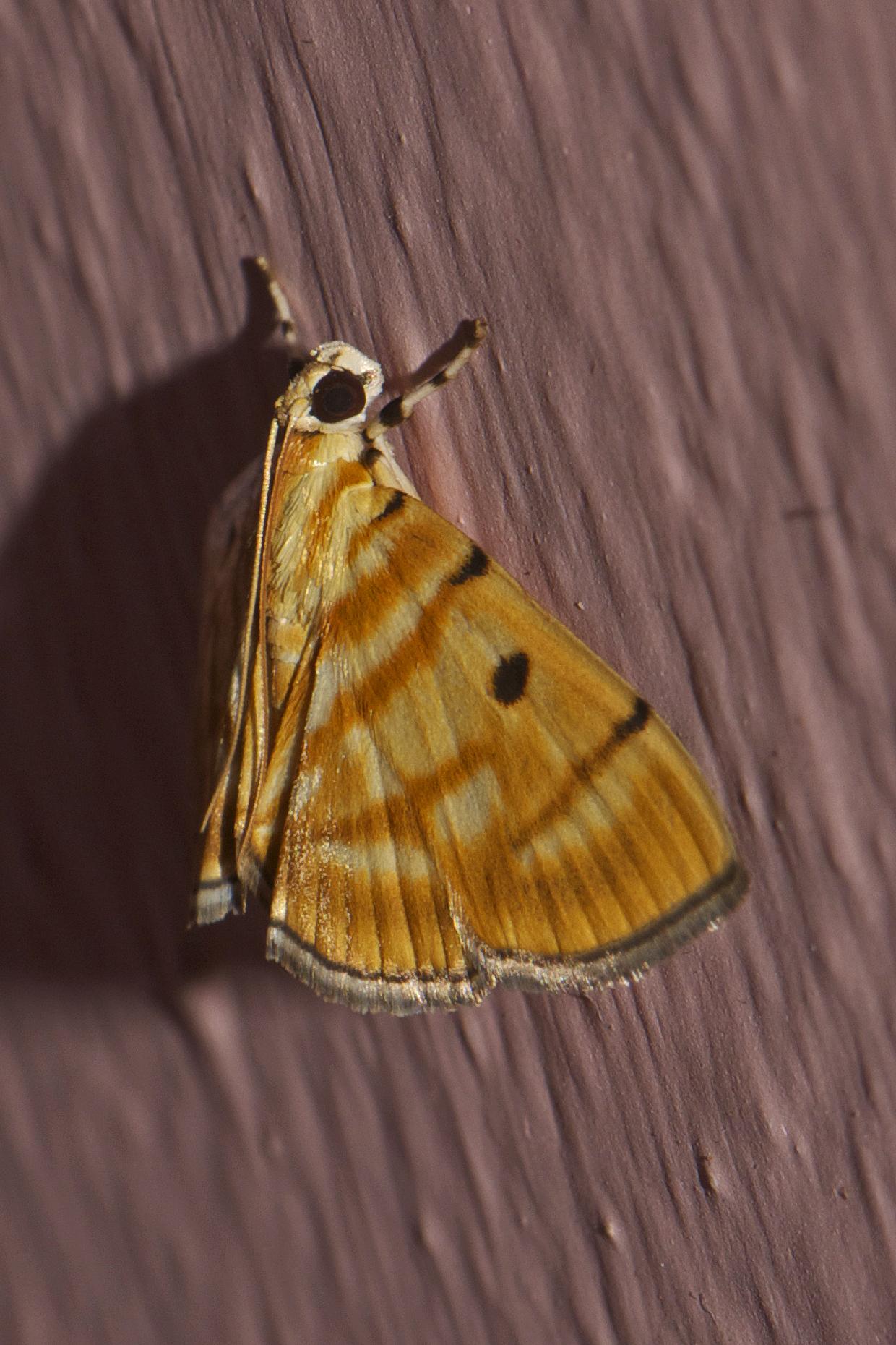 Image of <i>Dichocrocis tigrina</i> Moore 1886