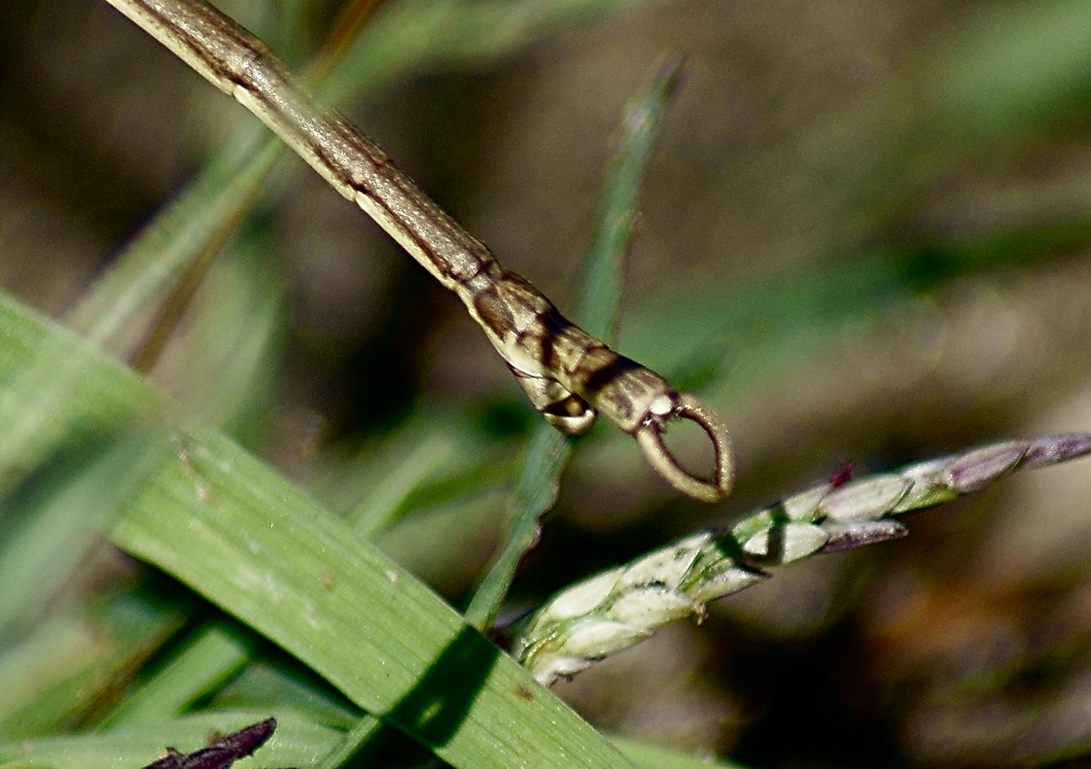 Image of <i>Manomera blatchleyi</i> (Caudell 1905)