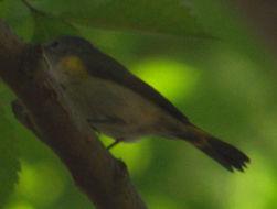Image of American Redstart