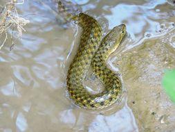 Image of Checkered Keelback Snake