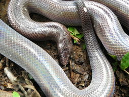Image of Mexican burrowing python
