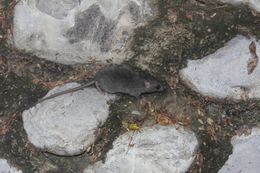 Image of <i>Oryzomys couesi aquaticus</i>
