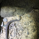 Image of Persian horned viper