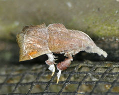 Image of <i>Streptopalpia minusculalis</i>