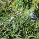 Image of smooth blue aster