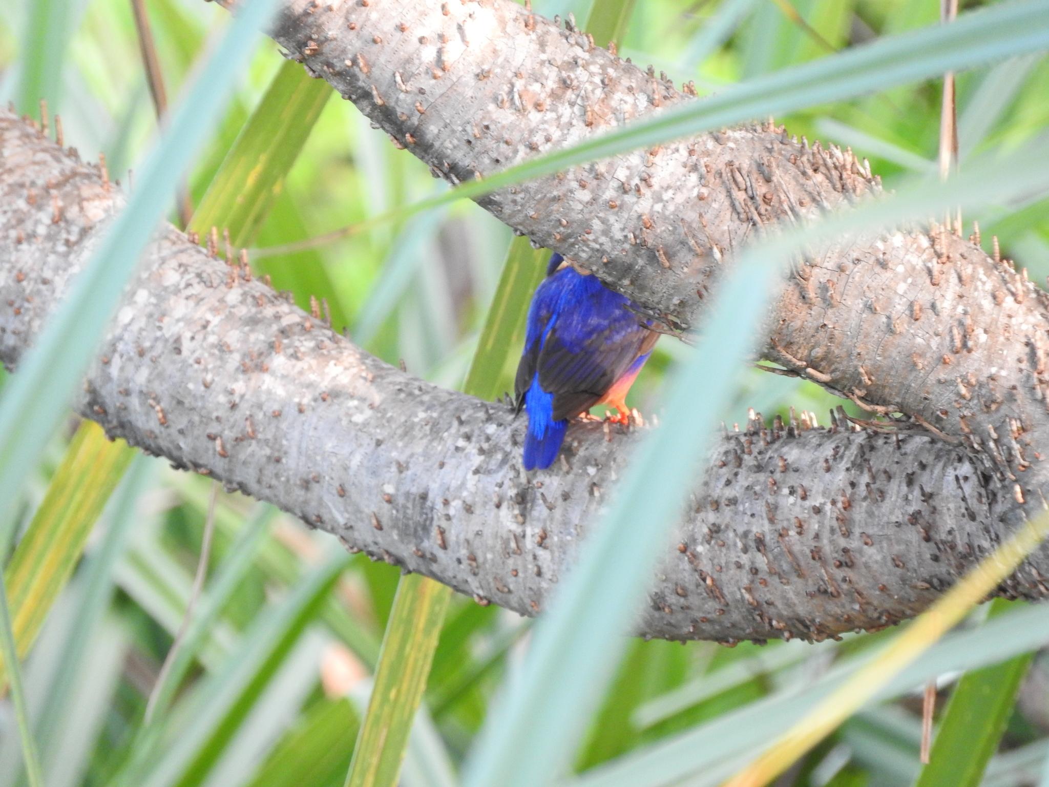 Image of Azure Kingfisher