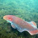 Image of Giant Australian Cuttlefish