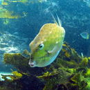 Image of Chubby basketfish