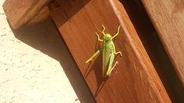 Image of Green Bird Grasshopper