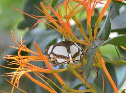 Image of <i>Thisbe lycorias</i> Hewitson 1852