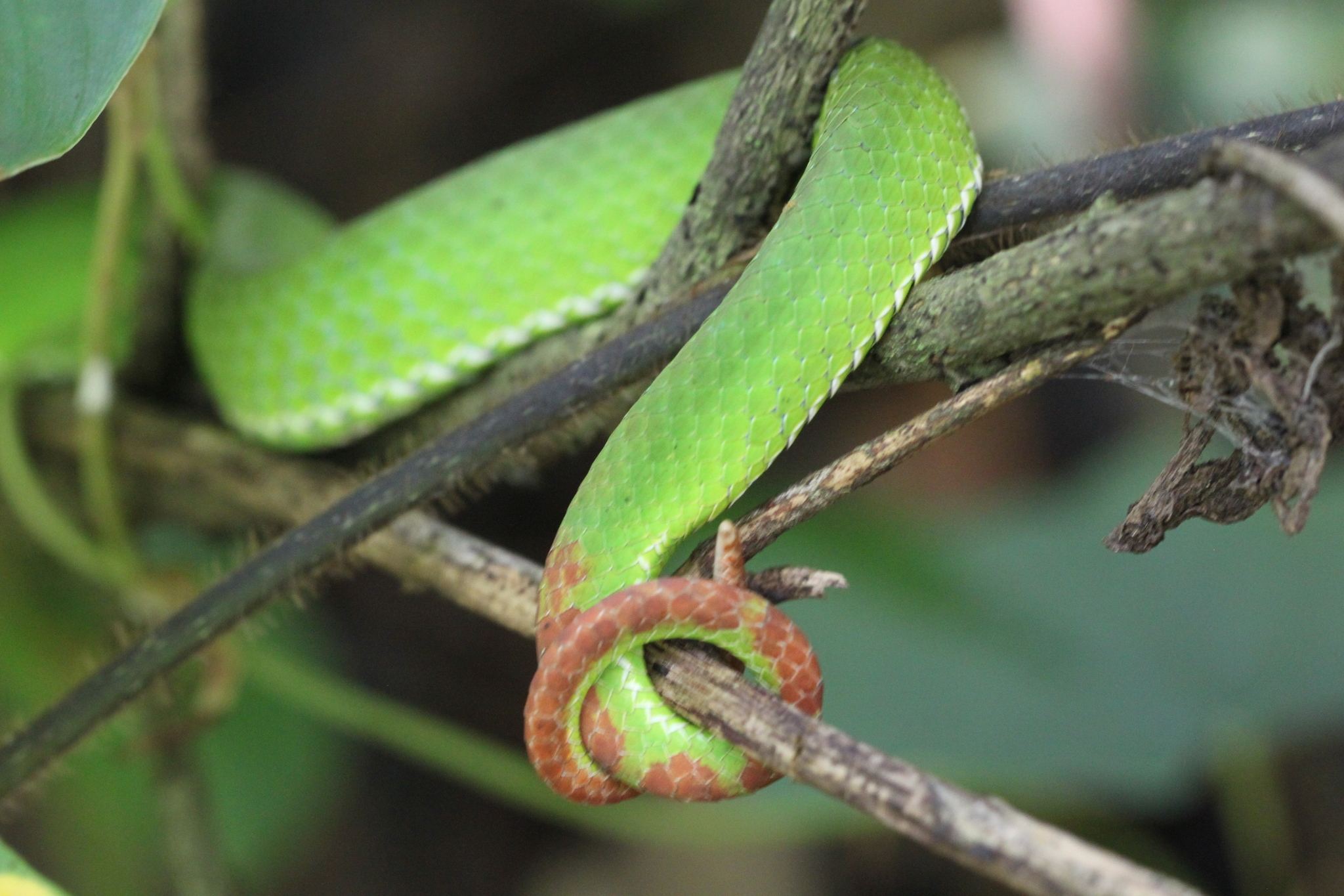 Image of Pope's Bamboo Pit Viper