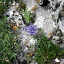 Image of <i>Phyteuma sieberi</i>