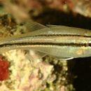 Image of Barred striped cardinalfish