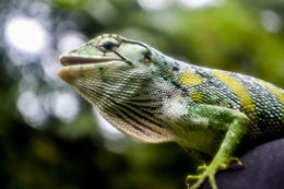 Image of Many-colored Bush Anole, Common Monkey Lizard