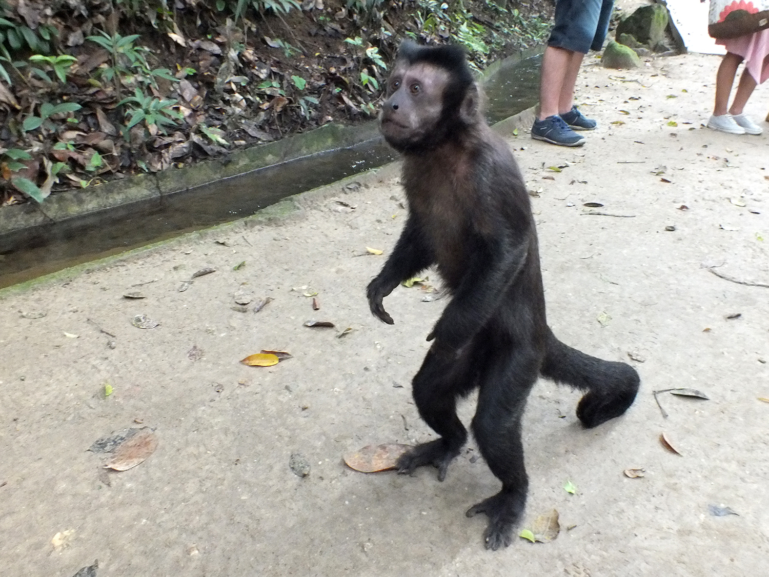 Image of Black Capuchin