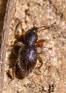 Image of <i>Barypeithes pellucidus</i>
