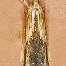 Image of <i>Ancylostomia stercorea</i> Zeller 1848