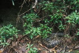 Image of <i>Morelia spilota mcdowelli</i> Wells & Wellington 1984