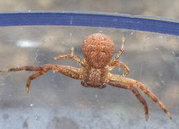 Image of Deadly Ground Crab Spider