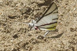 Image of <i>Protesilaus macrosilaus penthesilaus</i>