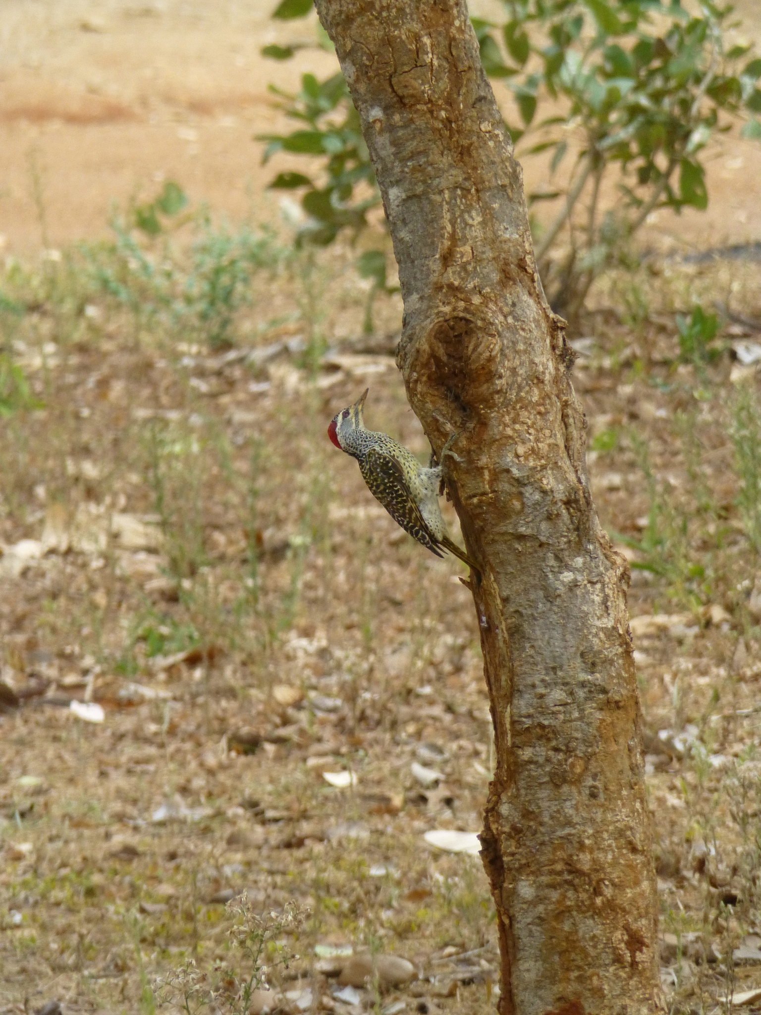 Image of Speckle-throated Woodpecker
