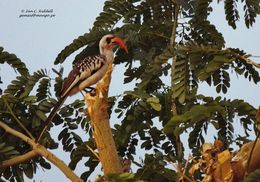 Image of Western Red-billed Hornbill