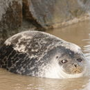 Image of Fjord Seal