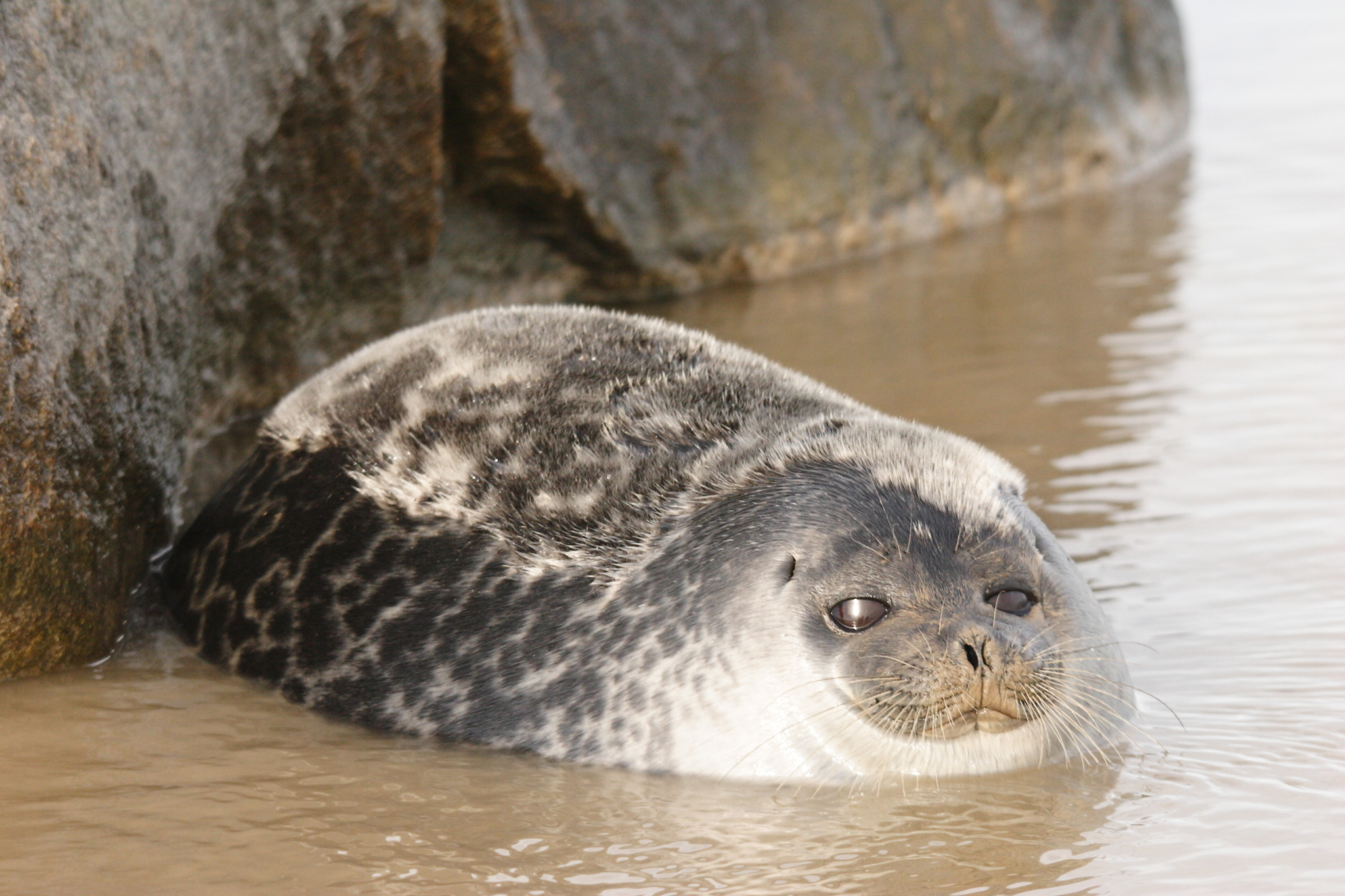 Fjord Seal - Encyclopedia of Life