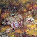 Image of Dragonet