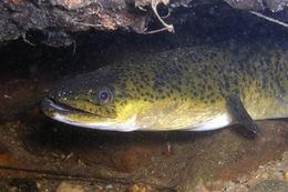 Image of Speckled longfin eel