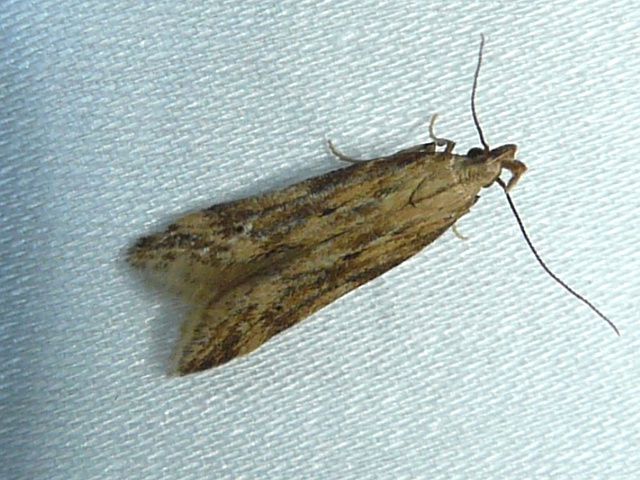 Image of Moth