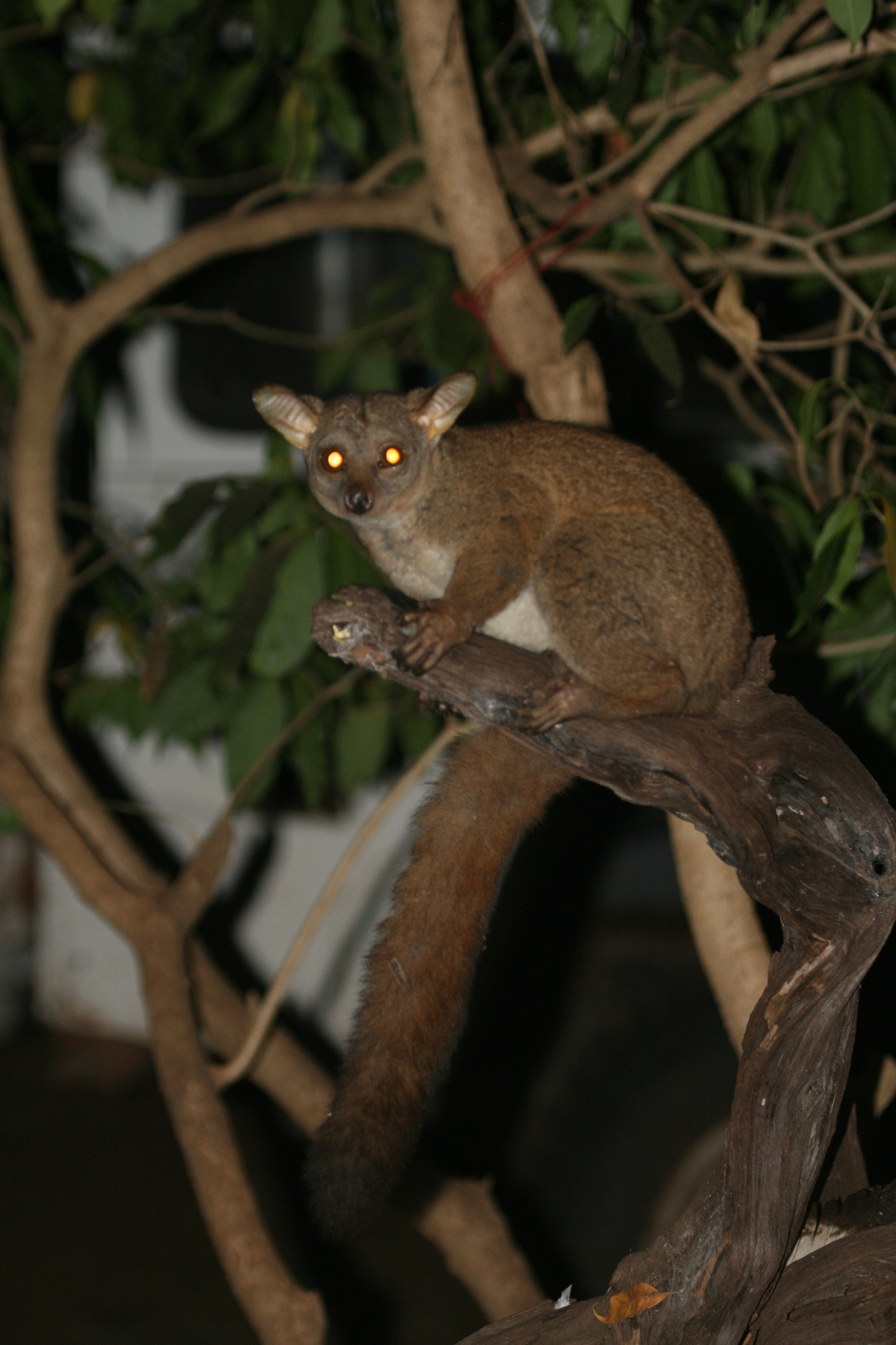 Image of Small-eared galago