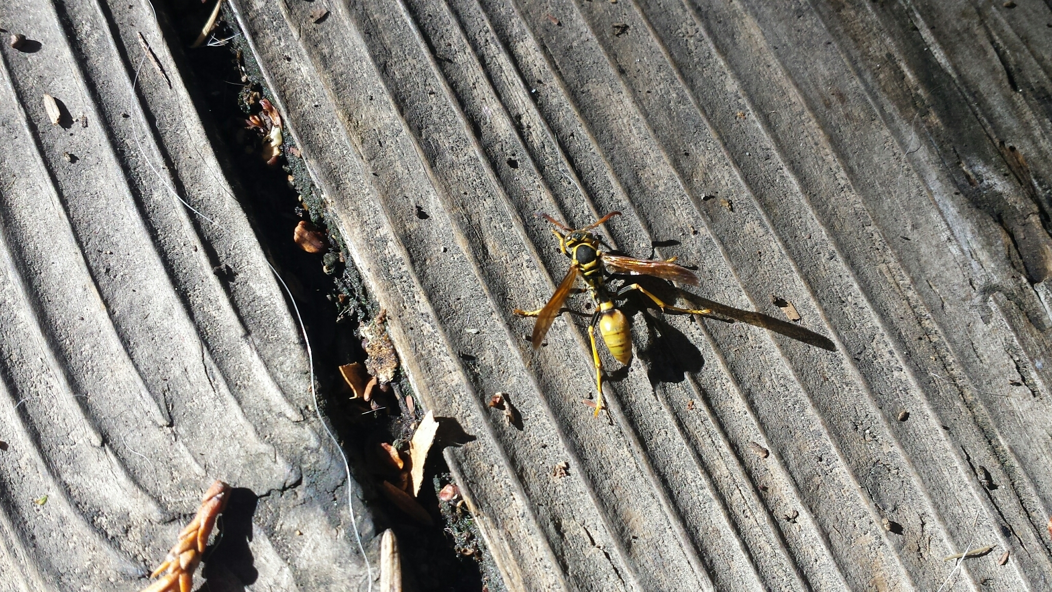 Image of Western Paper Wasp
